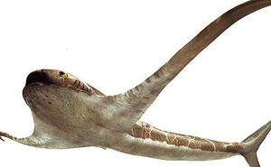 Phát hiện loài cá mập có... cánh chưa từng thấy trên thế giới