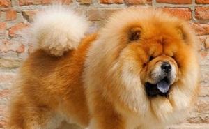 Cận cảnh 7 giống chó đắt nhất thế giới, không phải ai cũng mua được