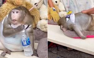 Đời thăng trầm của chú khỉ béo tròn như quả bóng ở chợ Bangkok