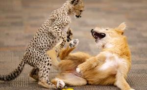 Chú chó cứu hộ đóng vai mẹ, nuôi lớn báo săn con: Thái độ của con báo khi lớn khiến nhân viên sở thú bất ngờ