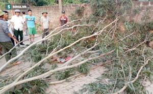 2 người cưa cây bên đường đổ đè trúng một phụ nữ, khiến nạn nhân dập đốt sống cổ, gãy xương
