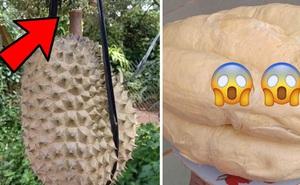 Thì ra đây là cách người nông dân trồng sầu riêng biết khi nào quả chín, tới lúc bổ ra nhìn bên trong còn bất ngờ hơn