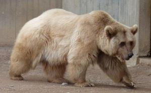 Gấu Bắc Cực buộc phải sống cùng gấu xám rồi 'nảy sinh tình cảm' - sinh ra một loài gấu mới