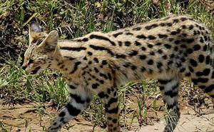 1001 thắc mắc: Loài mèo nào chạy nhanh chỉ sau báo cheetah?