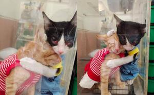 Hình ảnh 2 chú mèo hoang bị viêm mắt ôm nhau trong phòng khám khiến ai ai cũng cảm động