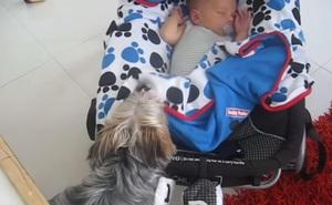 Ấm lòng: Em bé bị hở chân ra ngoài lúc ngủ, báo động mãi không được, chó cưng ra sức kéo chăn đắp cho cậu chủ