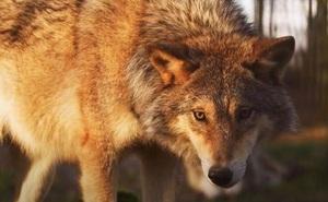 Cứu chó sói thoát khỏi bẫy tử thần, người đàn ông không ngờ tới cuộc gặp gỡ định mệnh 4 năm sau