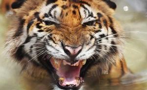 Ấn Độ: 3 người đàn ông đen đủi gặp 2 con hổ nằm giữa đường