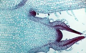 Giải mã được bí ẩn: Làm cách nào các tế bào thực vật biết thời điểm ngừng phát triển?