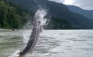 Con cá khổng lồ 158 kg gây sốc khi bật nhảy khỏi mặt nước