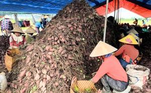 Cảnh báo thừa khoai lang tím, dưa leo, gà lông trắng và nhiều loại nông sản ở các tỉnh phía Nam