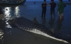 Clip: Phát hiện cá lạ nặng hơn một tấn trôi dạt vào bãi biển ở Nghệ An