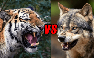 'Một bầy sói có thể hạ gục được một con hổ', vậy chó sói có phải là thiên địch của hổ không?