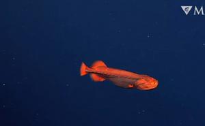 Bắt gặp loài cá cực hiếm có khả năng thay đổi hình dạng