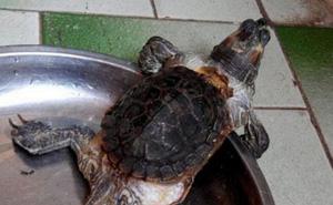 Được bạn tặng 1 con rùa có cái mai bé tí so với phần thân, đến khi cho nó ăn, người đàn ông mới hiểu tại sao con vật lại dị dạng