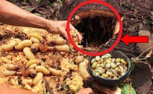 Phát hiện thân cây dừa mục, người đàn ông liền dùng tay phá lớp vỏ ngoài và kết quả bất ngờ