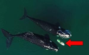 Hai con cá voi bất ngờ tiếp cận chiếc ván và hành động bất ngờ của chúng sau đó