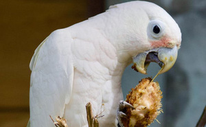 Phát hiện ra loài vẹt mào có khả năng chế tác và sử dụng một bộ công cụ làm từ gỗ