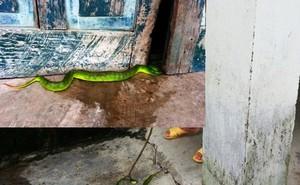 39 con rắn lục đuôi đỏ được phát hiện, người dân khiếp vía