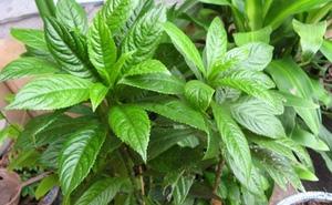 Những bài thuốc trị nhức xương khớp hay từ cây nhà lá vườn