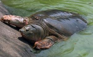 """Bất ngờ: Sẽ lưu giữ tinh trùng nếu """"cụ rùa"""" Hồ Gươm là giống đực?"""