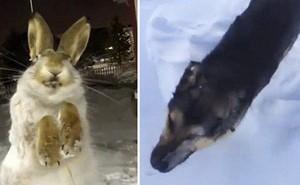 Đôi mắt ám ảnh của thỏ và chó chết cứng vì đóng băng trong nền nhiệt độ -56 độ C