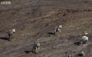 Màn rượt đuổi ngạt thở giữa bầy sói trắng và thỏ trắng