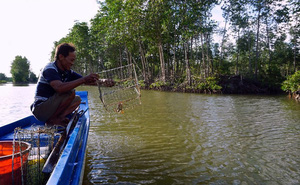 Đặt rập bắt loài cua thơm ngon nhất nước