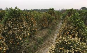 Hải Dương: Truy tìm kẻ gian chặt phá gần 400 cây ăn quả của người dân