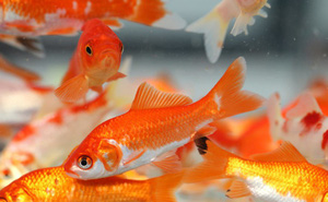 Ngoài tục thả cá vàng, ngày lễ ông Công ông Táo còn cần lưu tâm điều gì?
