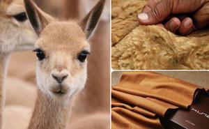 Ít ai ngờ chú lạc đà xinh xắn này lại là nguồn gốc của loại vải sợi quý hiếm nhất thế giới