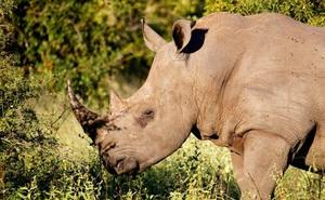 Các nhà khoa học lừa kẻ săn trộm bằng sừng tê giác giả làm bằng lông ngựa
