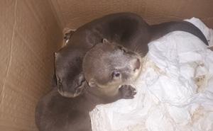 19 cá thể rái cá quý hiếm thuộc sách đỏ Việt Nam bị đóng thùng buôn lậu