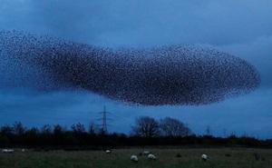 24h qua ảnh: Chim sáo đá bay kín bầu trời ở Scotland