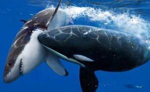 """Giải mã bí ẩn: Sát thủ nào có thể hạ gục """"chúa tể"""" cá mập trắng?"""