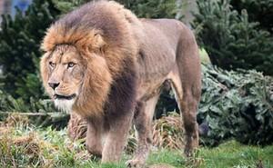 Video: Sư tử tấn công, kéo lê chủ công viên vào bụi rậm