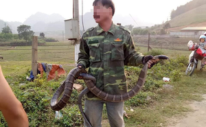 """Người dân Sơn La bắt được rắn hổ mang """"khủng"""" nặng 10kg, dài hơn 2m"""