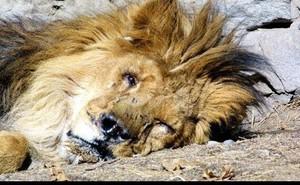 """Sư tử mất mạng vì 1 vết thương trên bụng: """"Căn bệnh"""" này con người cũng hay mắc phải"""