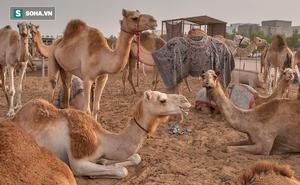 Đi gặp thánh cầu thoát bể khổ, người đàn ông bị bắt trông 100 con lạc đà và đạo lý ẩn sau