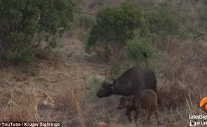 Soup sáng: Trâu rừng tử chiến với 3 sư tử đói để bảo vệ con
