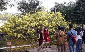 """Hàng ngàn người đến thưởng lãm cây mai """"khủng"""" ở Đồng Nai"""