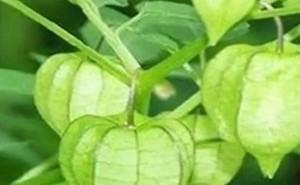 5 cây dại ở Việt Nam là thần dược đắt giá
