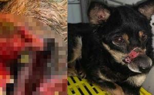 Hành trình sang Mỹ của chú chó hoang ở Huế bị hoại tử mõm