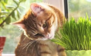 Vì sao mèo là loài ăn thịt mà vẫn thích... gặm cỏ? Bí ẩn nay đã có lời giải