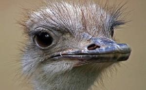 Đà điểu, loài chim lớn nhất thế giới