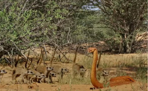 Cầy măng-gút đối mặt với rô-bốt rắn hổ mang