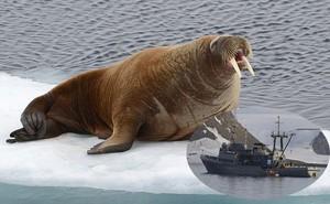 Hải mã giận dữ đánh chìm tàu hải quân của Nga để bảo vệ con