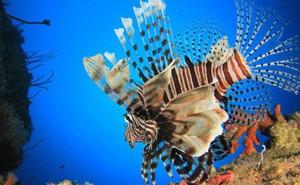 Con cá đẹp lộng lẫy này hóa ra đang là một thảm họa sinh thái rất nguy hiểm với toàn Đại Tây Dương