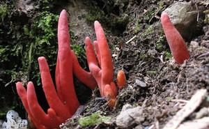 Loài nấm nguy hiểm nhất thế giới đột nhiên xuất hiện ở Úc: Chạm khẽ thôi cũng đủ gây độc chết người