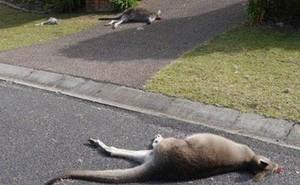 Nam thanh niên Úc đối diện với bản án 7 năm tù vì tội cố sát hại kangaroo địa phương